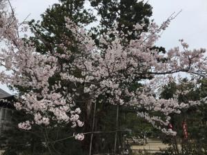 桜 001
